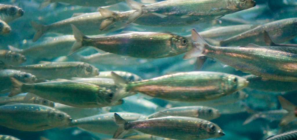 Increasing more herring is being fished along the Atlantic coast of the northeastern United States. (Photo credit: Jacob Bøtter, flickr)