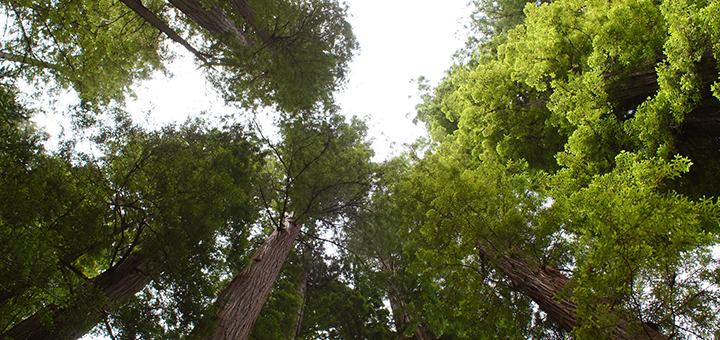 California's four-year drought is putting as many as 58 million of its famed redwoods at risk of dying. (Image credit: Tjflex2, flickr)